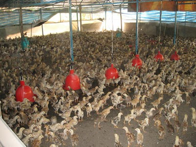 usaha ternak ayam arab